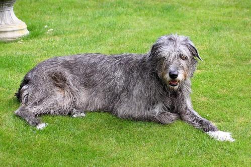 Molly - Irish Wolfhound