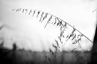 Stawell - Grass Seeds at Sunset