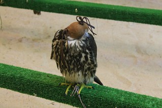 Falcons at souq waqif | by Rayya The Vet