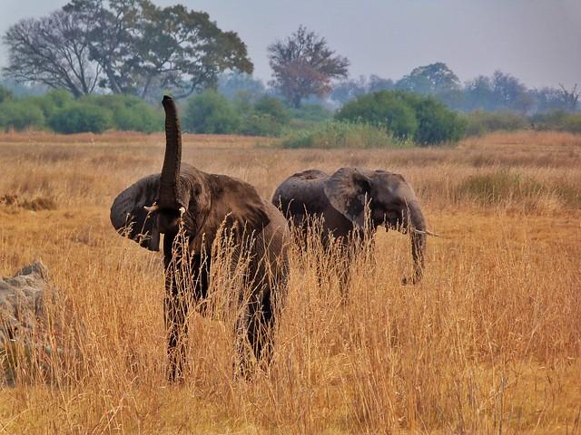 Elefante con la tropa levantada (¿Cuáles son los Big Five en África?)