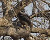 African Harrier-hawk  (Polyboroides typus) by Lip Kee
