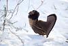 ruffed grouse, lake superior provincial park by twurdemann