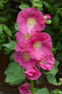 Althaea (Hollyhock) | by Alan Buckingham