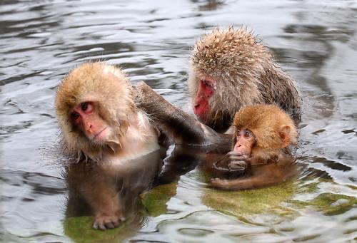 Snow Monkey (4) : a baby watching grooming | by takashi muramatsu