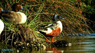Shoveler Shades, Sleeping Beauty! | by Raj the Tora