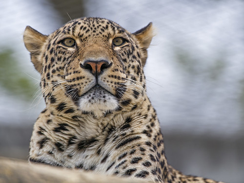 Male leopard looking around | by Tambako the Jaguar