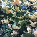 クリーム色な花で。.jpg