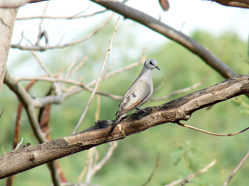 04. Tourtelette d'Abyssinie - Turtur abyssinicus - Black-billed Wood Dove | by notjes1966