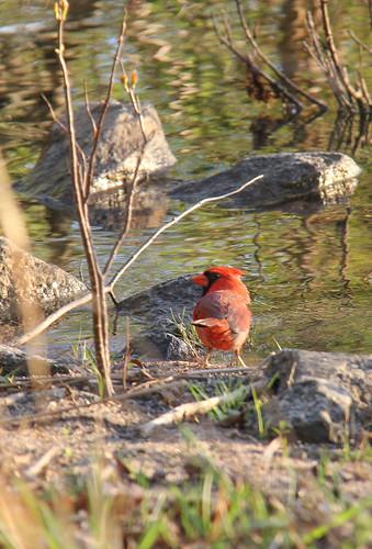 sunset cardinal drinking lakenormannc ramseycreekpark canon60d terridoaktaylor