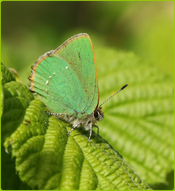 Green Hairstreak I