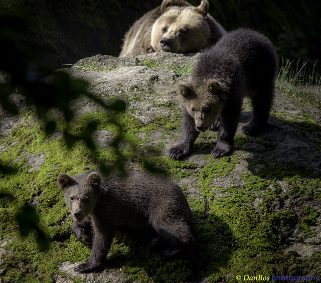 Bear Cubs exploring the World under the mother's eyes