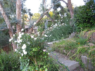 White roses and matilijas in May 2012 | by Silver Hills Manor