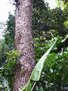 Marked balata tree