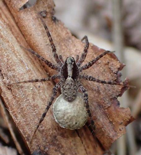 araneae arachnida arthropoda animalia spider lycosidae pardosa pardosinae pardosini pardosalugubris ovisac ♀