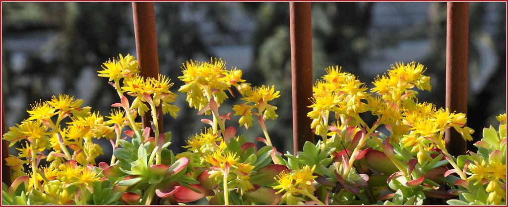 Pianta Grassa Fiori Gialli.Fiori Gialli Di Piante Grasse Aldo Furlanetto Flickr