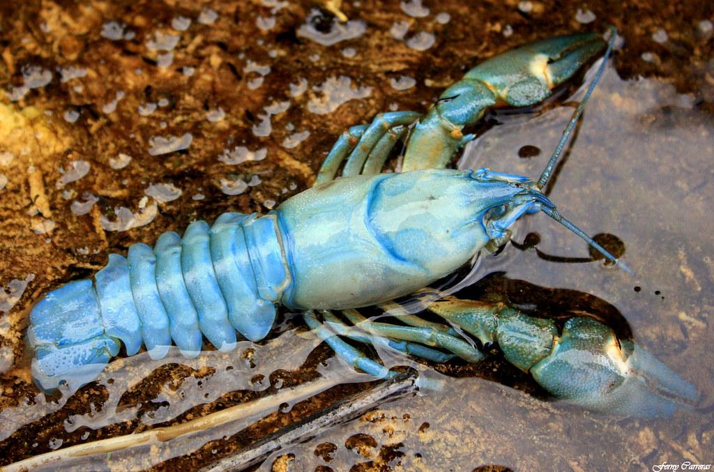cangrejo azul río
