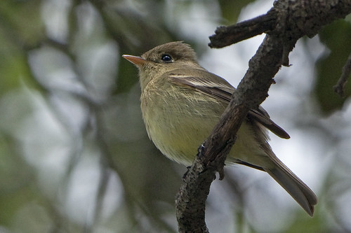 Pacific-slope Flycatcher (Empidonax difficilis) 10 050312 | by evimeyer