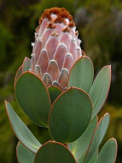 Protea speciosa #1   by J.G. in S.F.