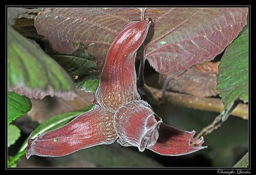 Noisetier pourpre (Corylus maxima purpurea)