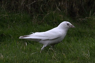 Albino Jackdaw | by Griffin Wildlife