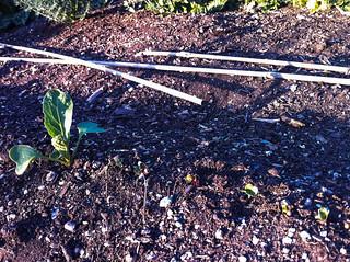6/4: radish sprouts