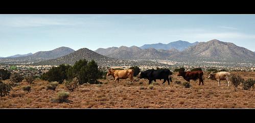 newmexico santafe cows hills cerrillos cerrodelacruz lacieneguilla