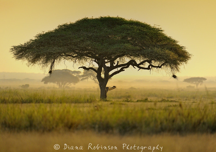 Umbrella Thorn Acacia At Sunrise Umbrella Thorn Acacia Ac Flickr