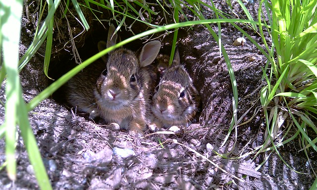 A family of rabbits in a hole near the Ginkgo Allee