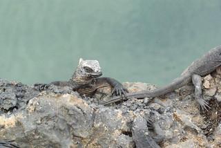 Marine iguanas (Amblyrhynchus cristatus) on Isabela, Galapagos Islands