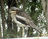 Bush Thick-Knee by TG23-Birding in a Box