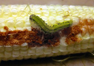 Green variant of corn earworm | by entogirl