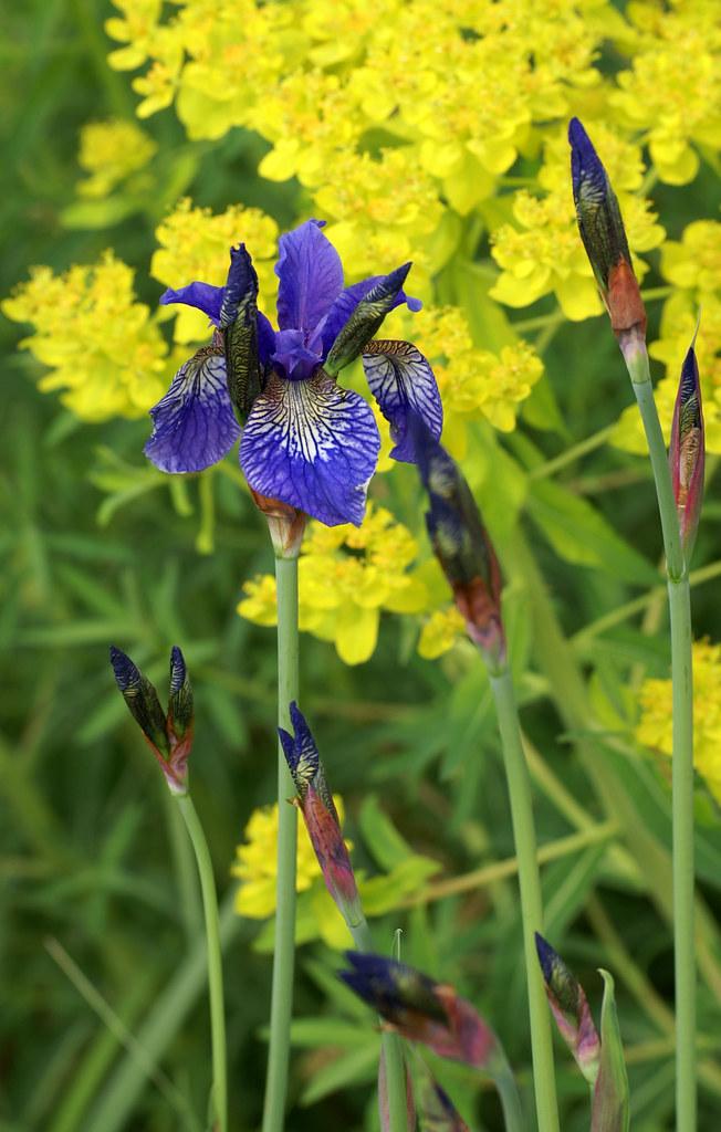 Iris sibirica Botanische Sibirische Schwertlilie