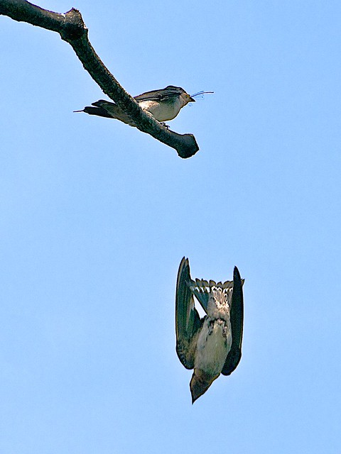 Pacific Swallow: Feeding Time
