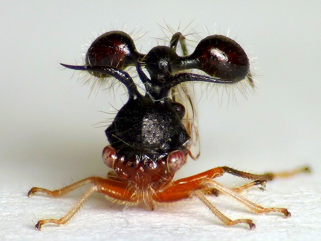 Ant-mimicking Treehopper, Cyphonia clavata, Membracidae