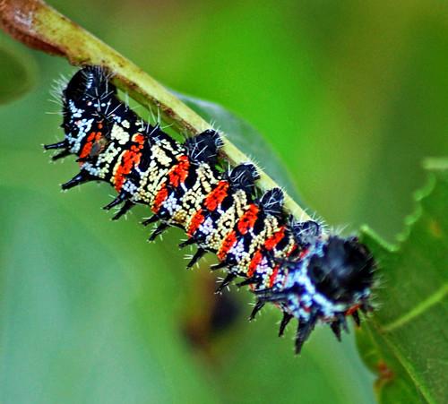 Mopane Worm: Imbrasia belina | by Pius Mahimbi