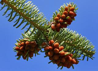 Abies nordmanniana ssp. equi-trojani #4 | by J.G. in S.F.