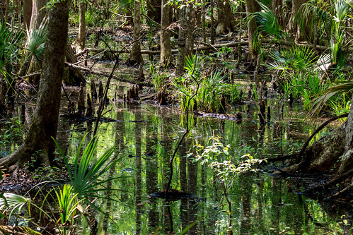 reflection tree nature water canon flora florida swamp bog rookstrail