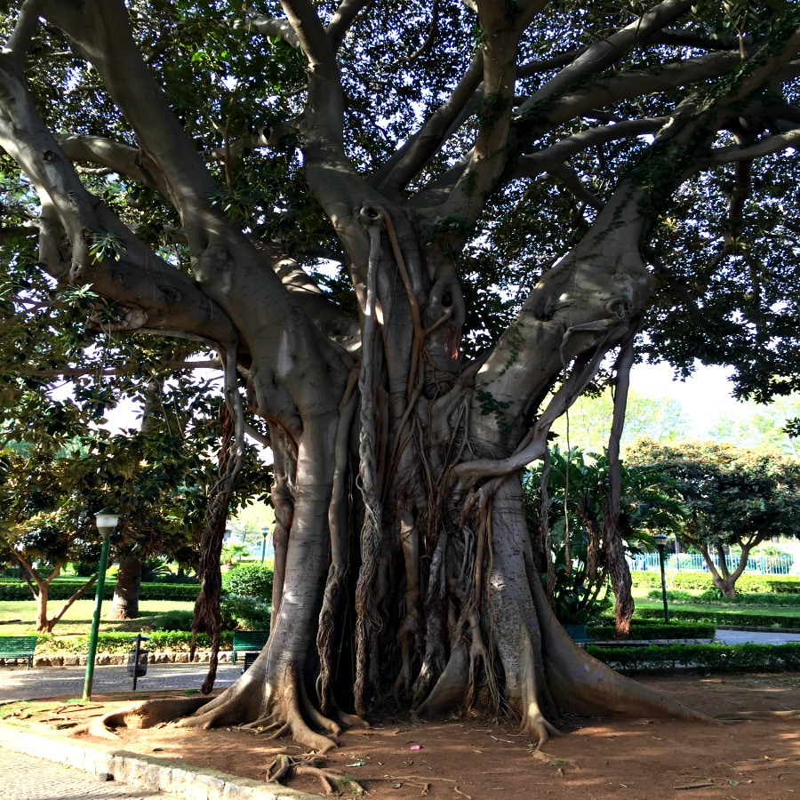 Palermo Sicily Banyon Tree