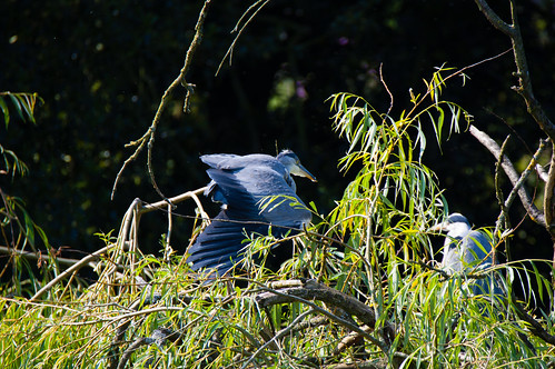 Breeding success, West Park: three herons on a tree