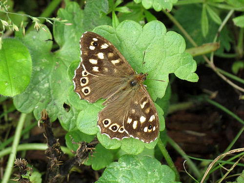 Speckled Wood - Pararge aegeria | by erdragonfly