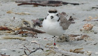 Snowy Plover (Charadrius alexandrinus) | by Victor W. Fazio III