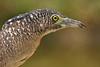 Malayan Night Heron (Gorsachius melanolophus) by Dave 2x