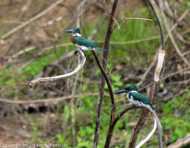Amazon Kingfisher couple