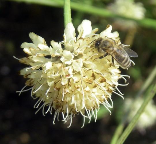 Cephalaria uralensis 8164381139_cbbdb69b17_o