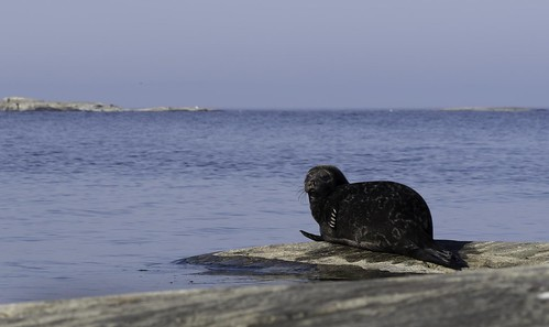 ringed seal Ladoga Lake