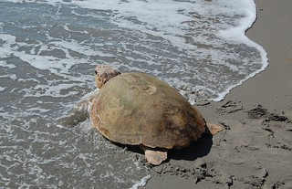Loggerhead Heading Home | by MyFWC Florida Fish and Wildlife