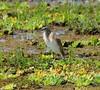 Malagasy pond-heron, Ardeola idea. South Luangwa, Zambia   DSC_5629 by Jaime Chang
