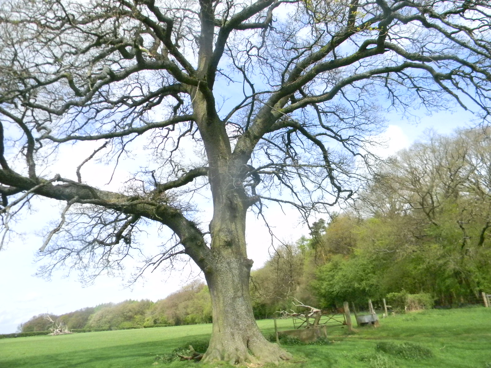 Big tree Tring to Berkhamsted