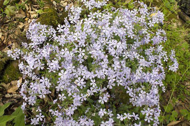 Phlox paniculata, Putnam County, Tennessee