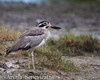 Great Stone-curlew by ArunaSene